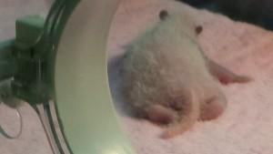 New baby Panda